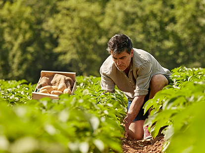 A male farmer kneeling in a field picking potatoes.