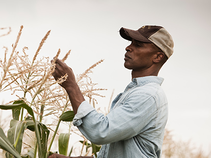 A male farmer standing in a field inspecting corn plants.